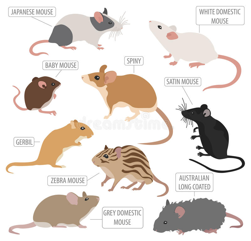 在白色隔绝的老鼠品种象集合平的样式 老鼠啮齿目动物 皇族释放例证