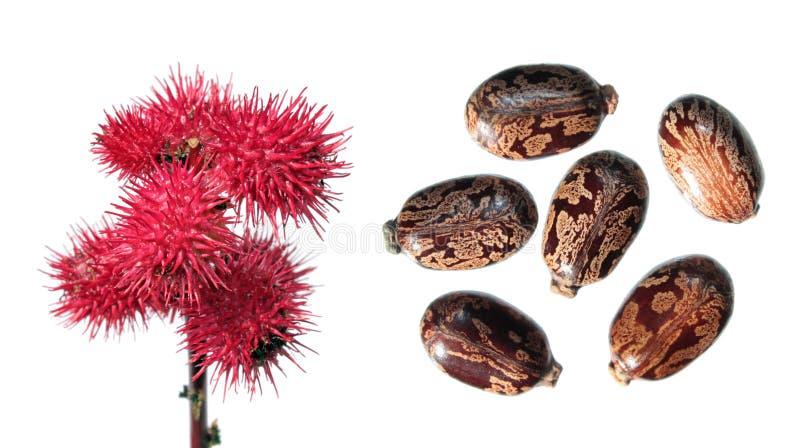 在白色隔绝的蓖麻红色果子 蓖麻籽厂或蓖麻种子草本种属在白色背景 库存图片