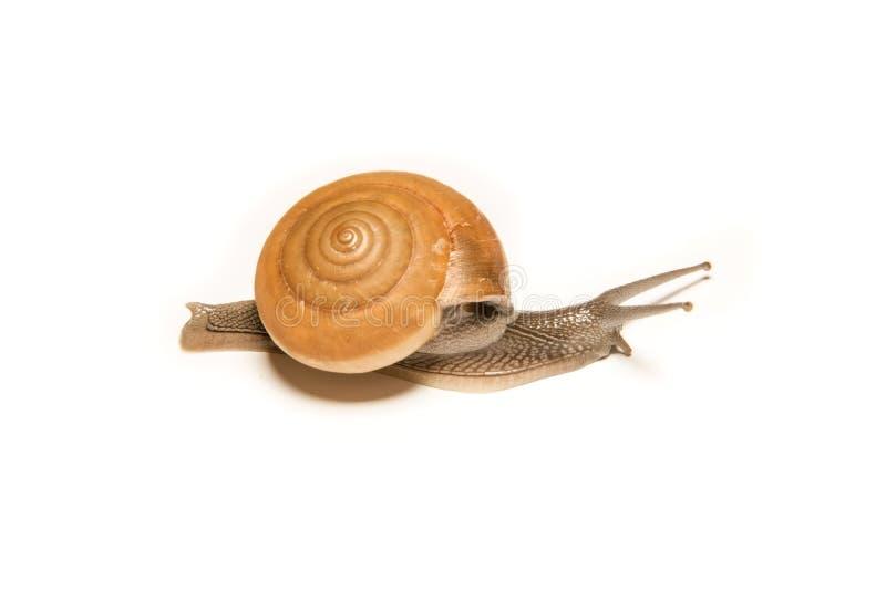 在白色隔绝的蜗牛,在近距离的射击的动物 免版税库存照片