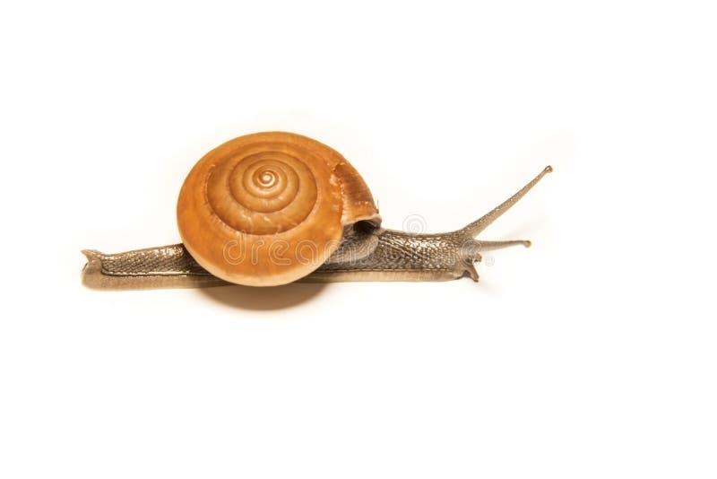 在白色隔绝的蜗牛,在近距离的射击的动物 免版税库存图片