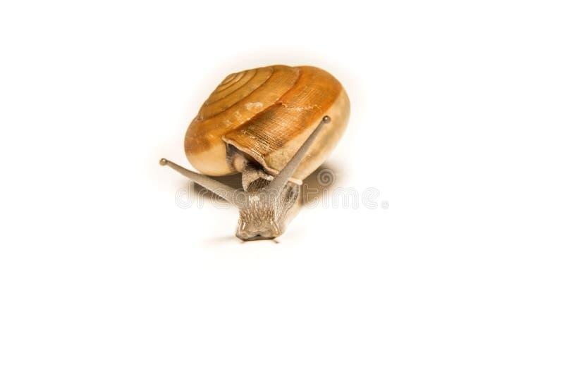 在白色隔绝的蜗牛,在近距离的射击的动物 免版税图库摄影