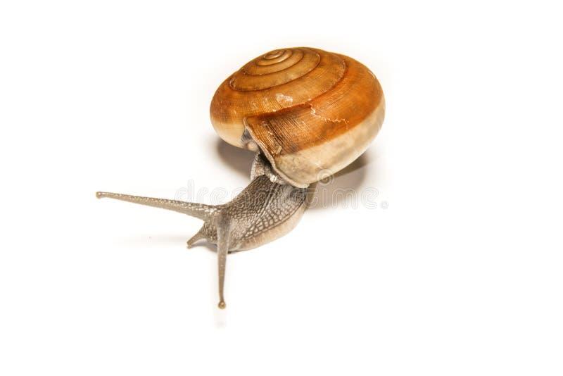 在白色隔绝的蜗牛,在近距离的射击的动物 图库摄影