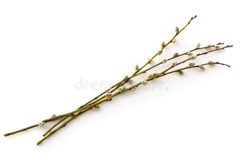 在白色隔绝的褪色柳枝杈 免版税图库摄影