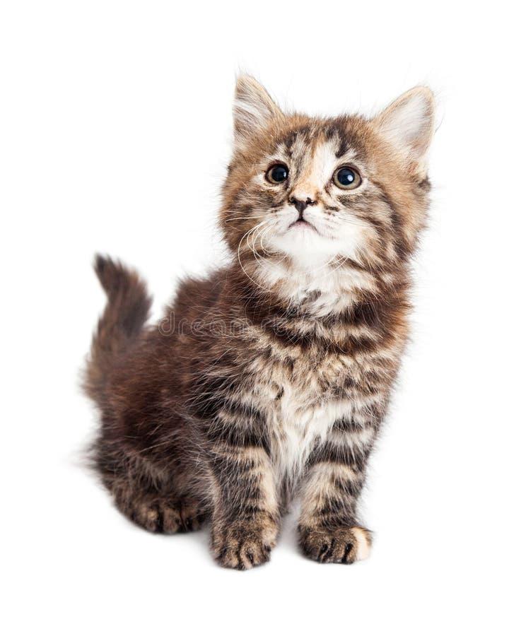 在白色隔绝的逗人喜爱的小平纹小猫 免版税库存图片