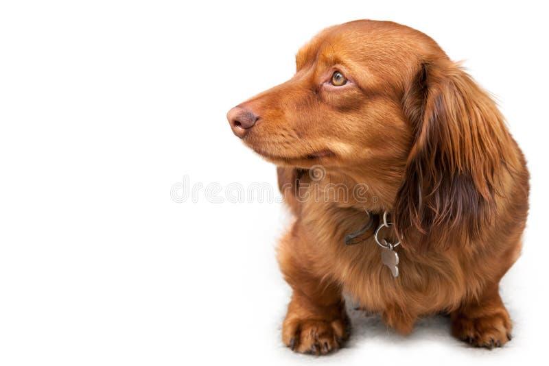 在白色隔绝的长发微型达克斯猎犬 图库摄影