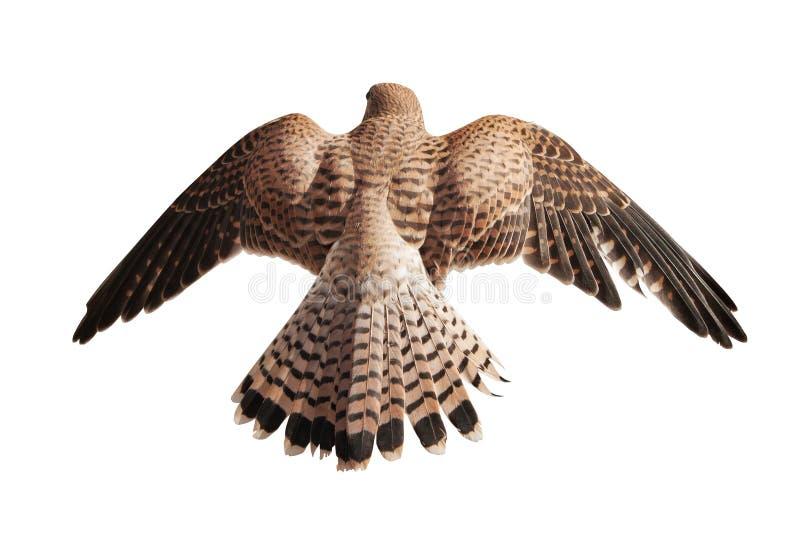 在白色隔绝的飞行的棕色猎鹰 免版税库存照片