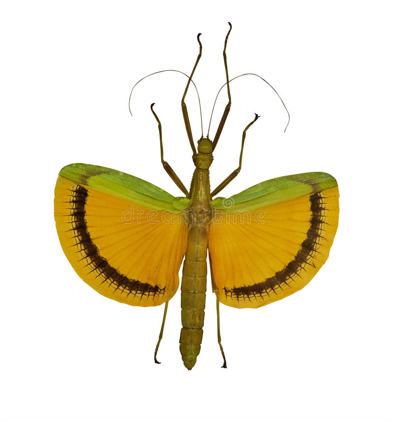 在白色隔绝的飞行的黄色竹节虫 图库摄影