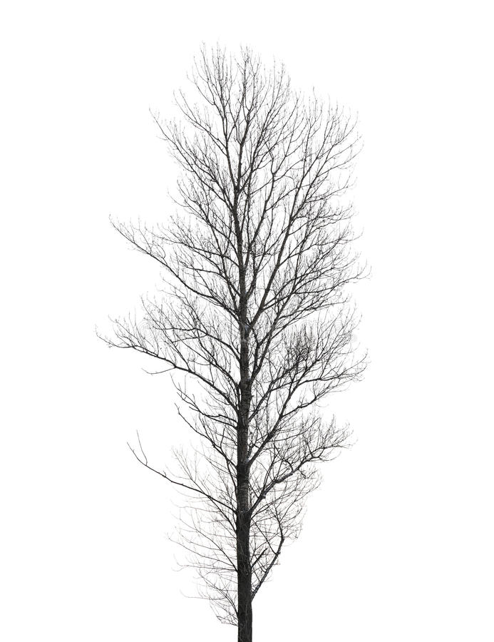 在白色隔绝的高白扬树 免版税库存图片