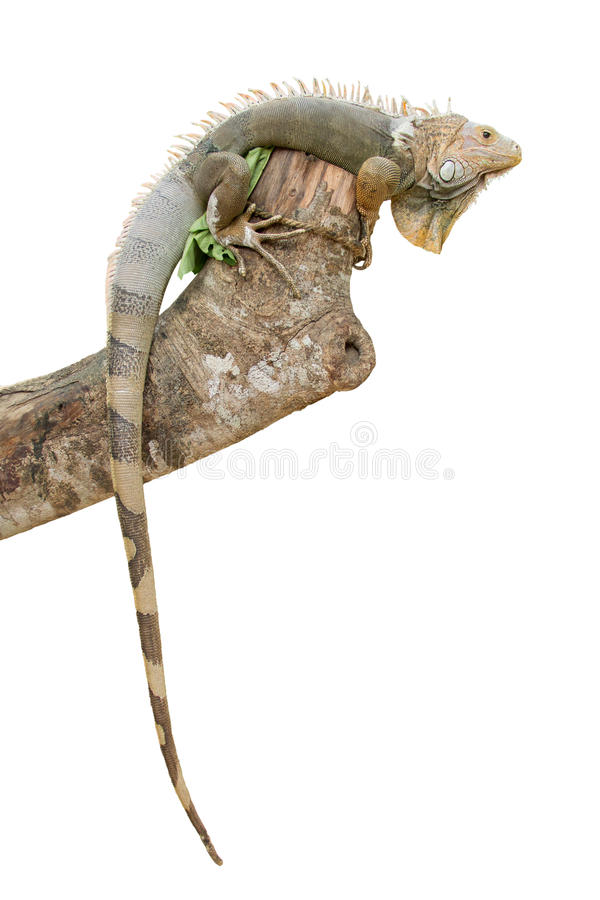 在白色隔绝的鬣鳞蜥 库存图片