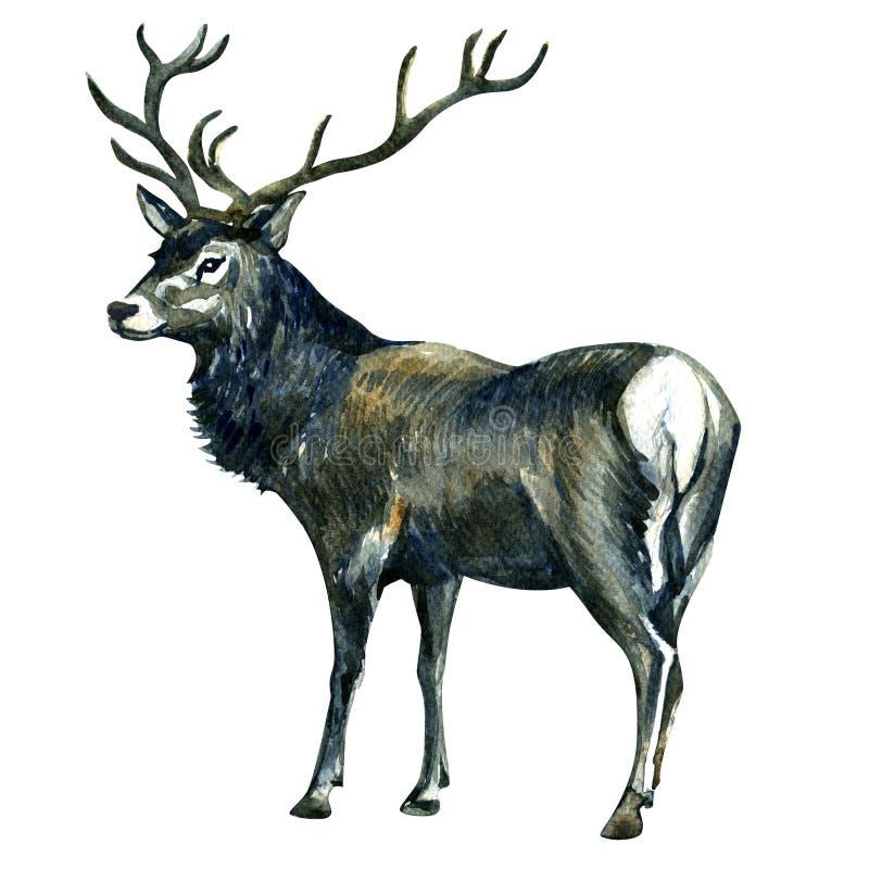 在白色隔绝的水彩逗人喜爱的美丽的鹿 库存例证