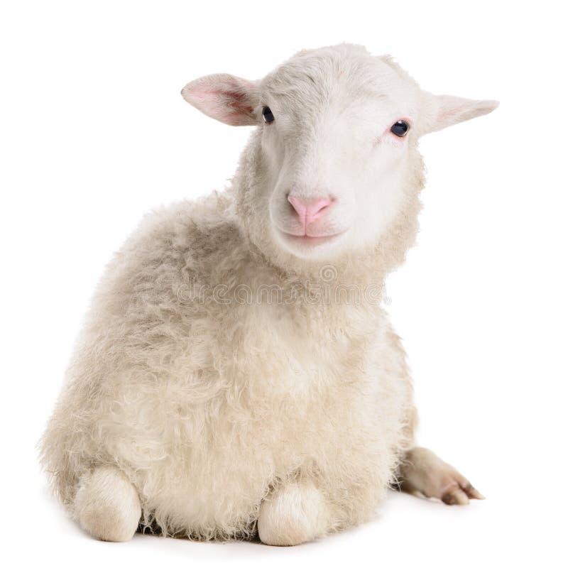 在白色隔绝的绵羊 免版税库存图片