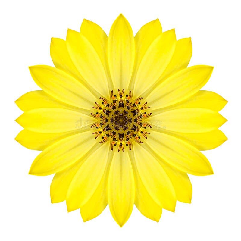在白色隔绝的黄色同心雏菊花。坛场设计 库存照片