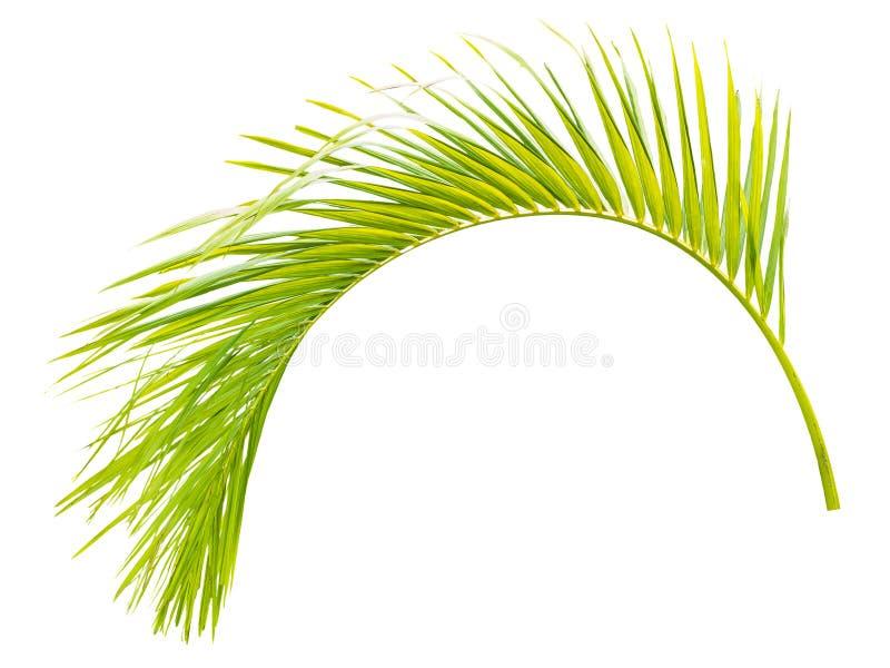 在白色隔绝的绿色棕榈叶 免版税库存照片