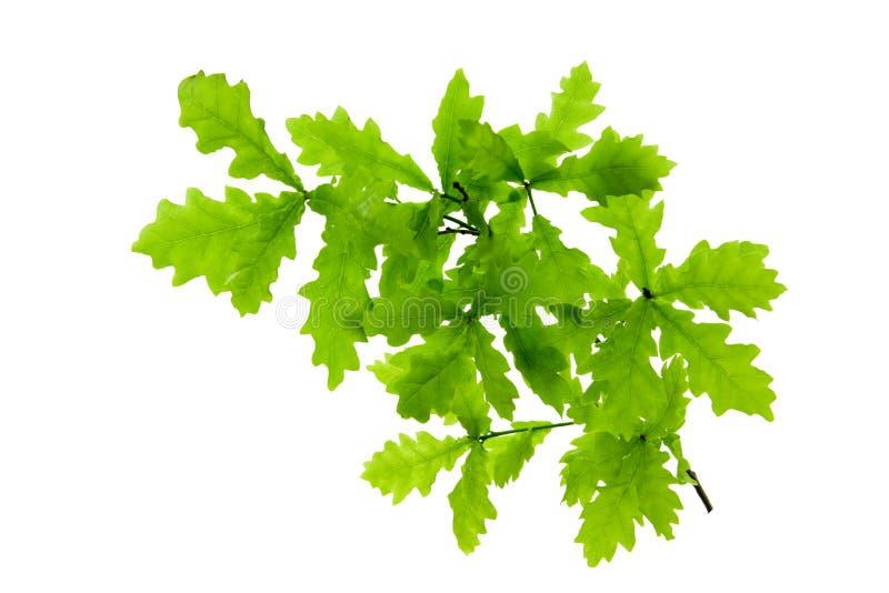 在白色隔绝的绿色橡木叶子 免版税库存照片