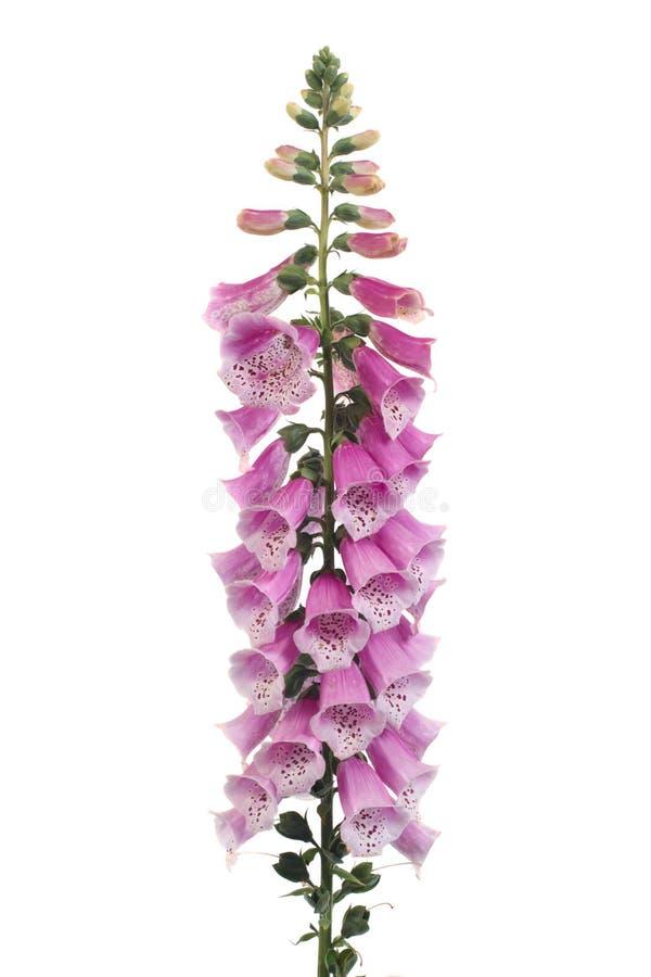 在白色隔绝的紫色毛地黄属植物花 免版税库存图片
