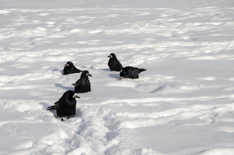 在白色雪的五掠夺 库存照片