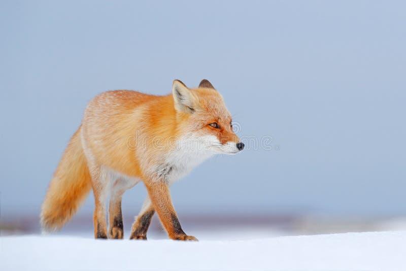 在白色雪的镍耐热铜 与橙色毛皮狐狸的冷的冬天 狩猎动物在多雪的草甸,日本 美丽的橙色外套动物na 免版税库存图片