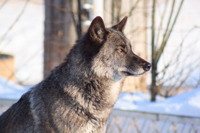 在白色雪的黑加拿大狼 免版税图库摄影