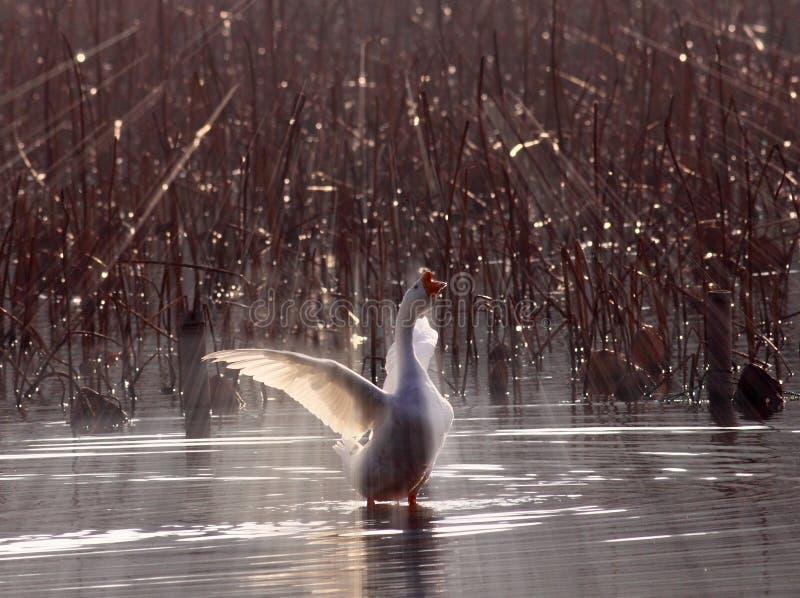 在白色鹅下的背后照明 免版税图库摄影
