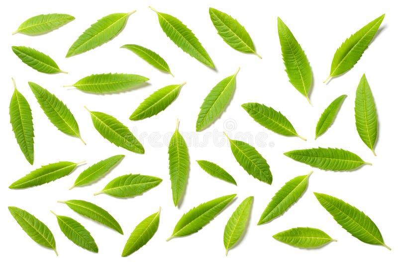 在白色,顶视图隔绝的新鲜的柠檬马鞭草属植物叶子 免版税库存图片