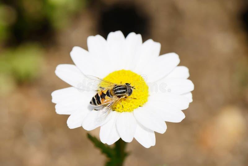 在白色延命菊的蜂 免版税库存照片