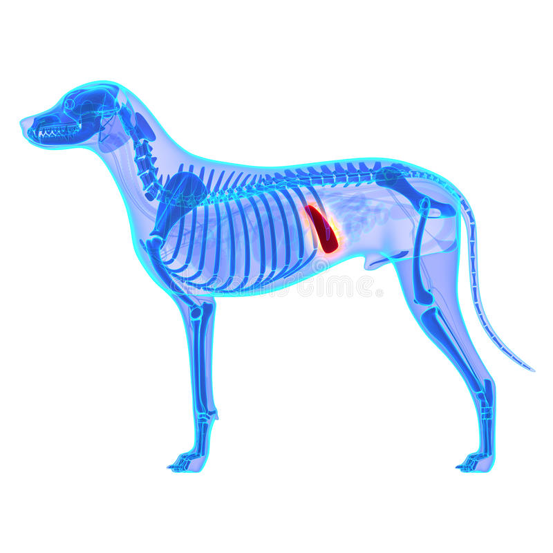 在白色-天狼犬座Familiaris解剖学-隔绝的狗脾脏 免版税库存图片