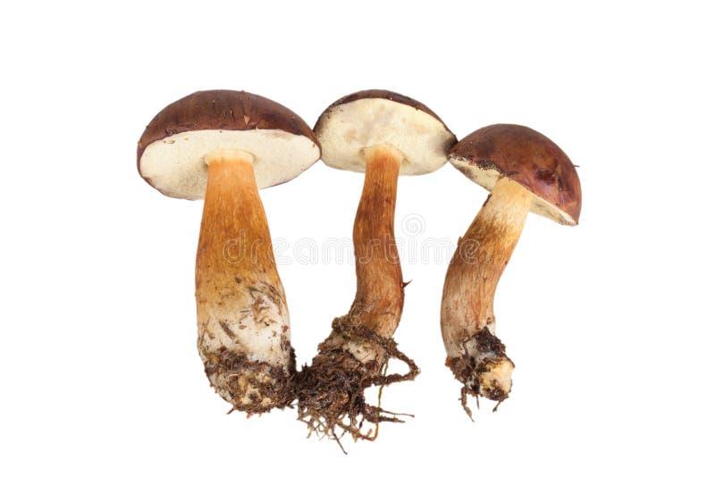 在白色(牛肝菌蕈类badius)隔绝的新鲜的三个森林蘑菇 库存图片