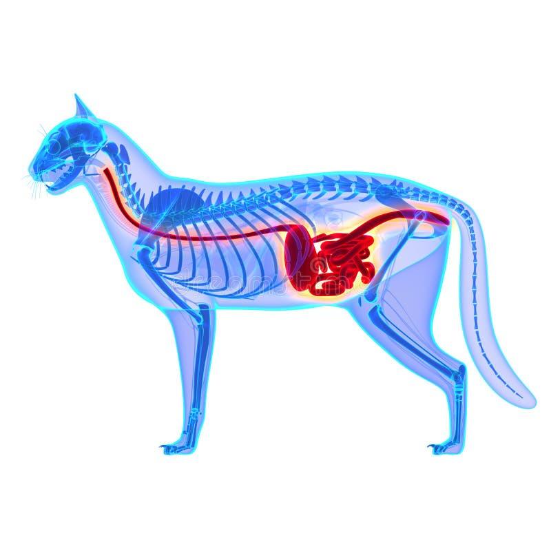 在白色-猫属Catus解剖学-隔绝的猫消化系统 免版税库存图片