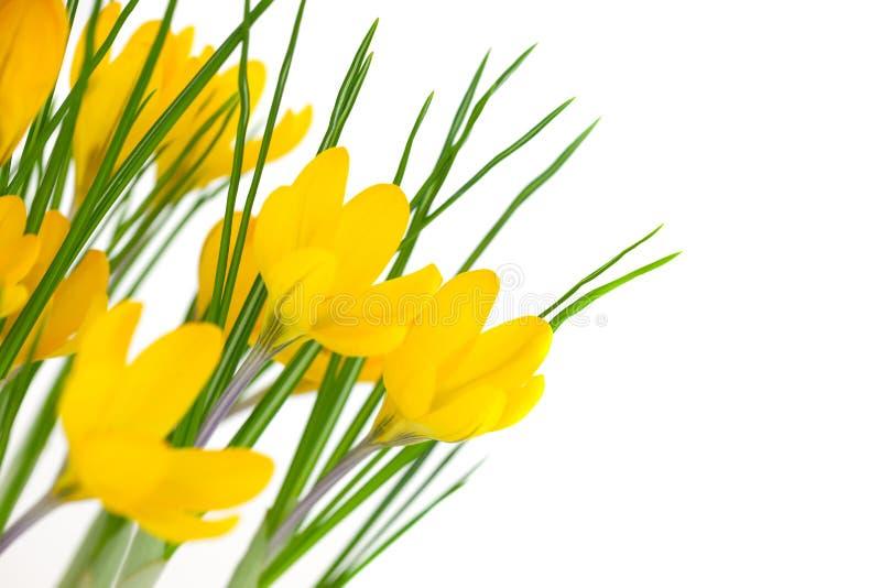 在白色/番红花隔绝的黄色春天花 免版税库存图片