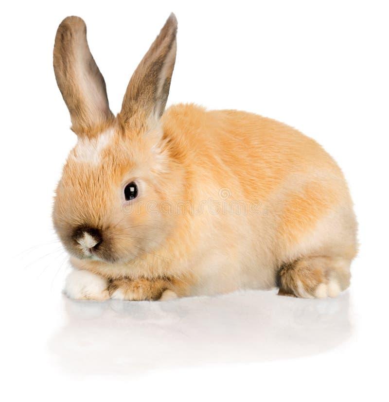 在白色-隔绝的逗人喜爱的小兔子 免版税图库摄影