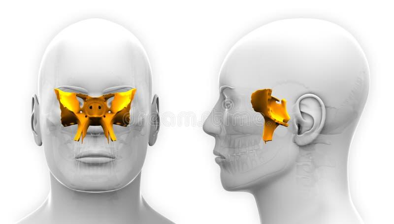在白色-隔绝的男性楔状头骨解剖学 向量例证