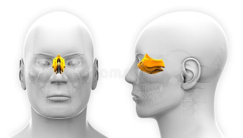 在白色-隔绝的男性筛状头骨解剖学 向量例证