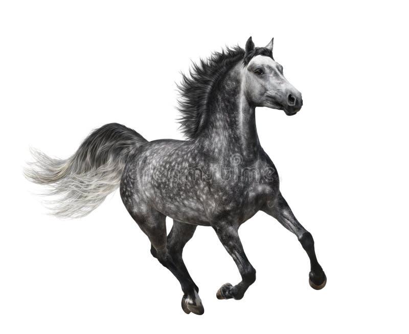 在白色-隔绝的行动的起斑纹灰色马 图库摄影