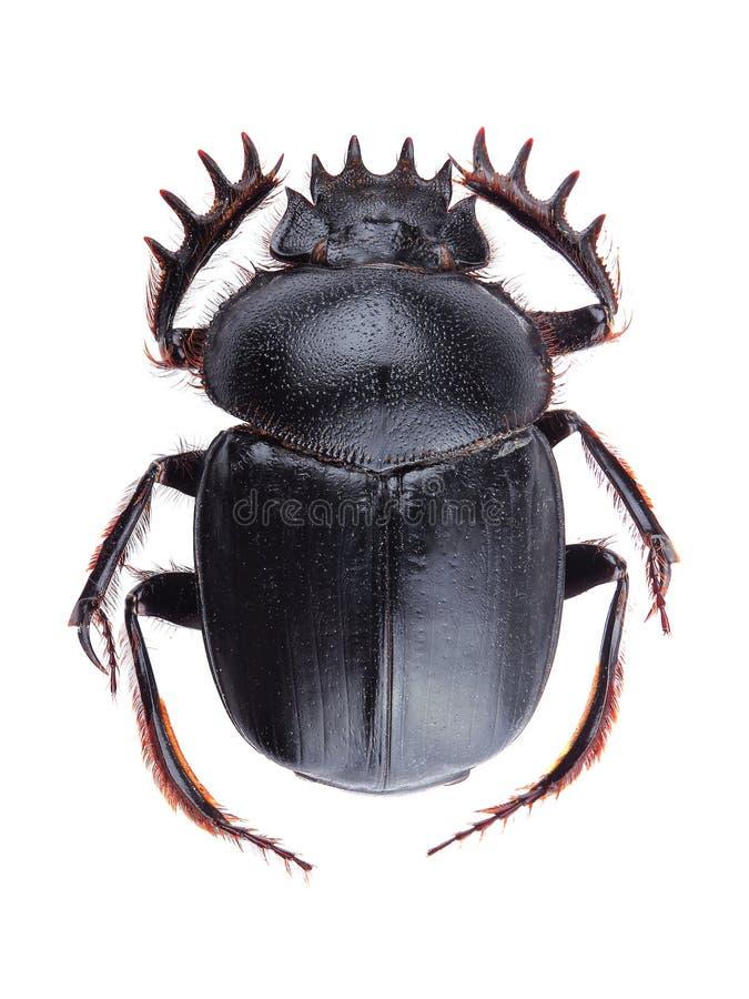 在白色(Scarabeus sacer)隔绝的甲虫 库存图片
