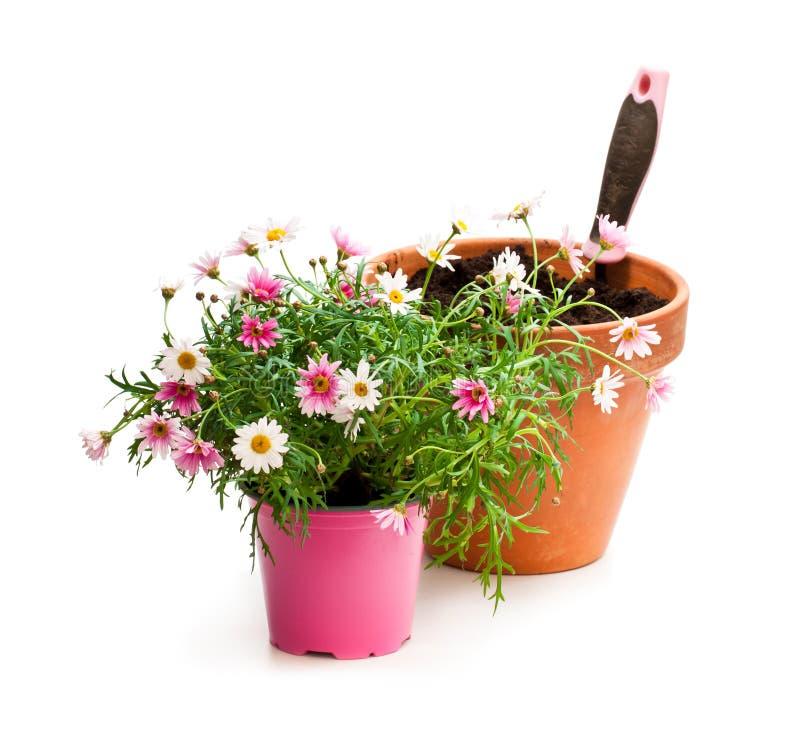 在白色b隔绝的花盆的桃红色雏菊延命菊植物 免版税库存图片