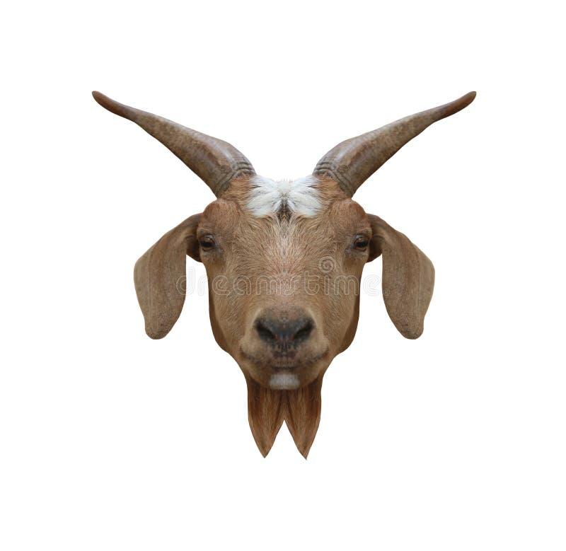在白色b隔绝的本国山羊或山羊属hircus顶头动物 免版税库存图片