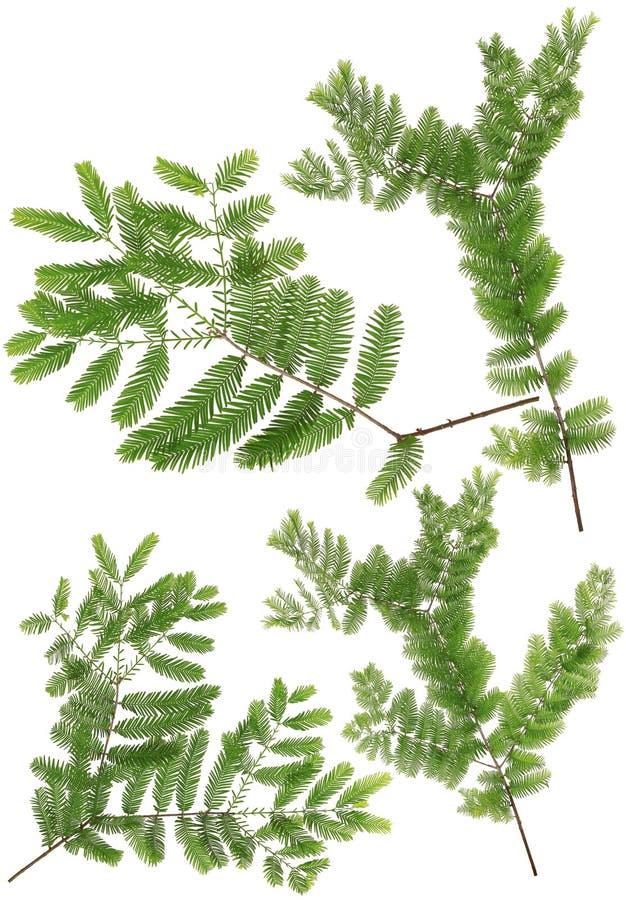在白色ba隔绝的宏指令收集的黎明红木枝杈叶子 库存照片