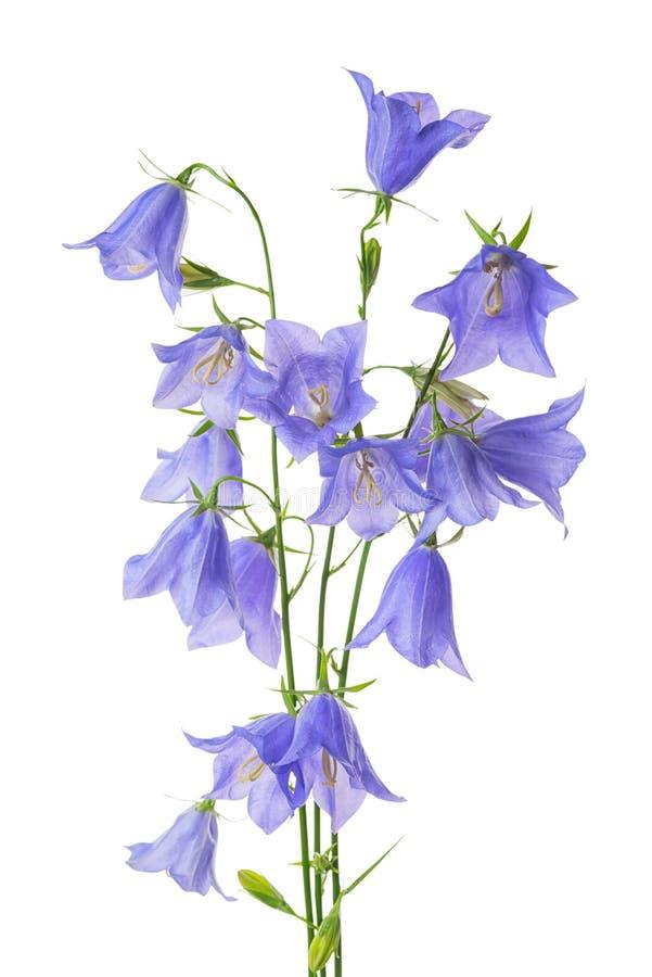 在白色ba隔绝的美丽的开花的花束蓝色吊钟花 库存照片