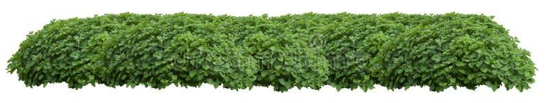 在白色ba隔绝的绿色新鲜的装饰狂放的树篱 免版税库存照片