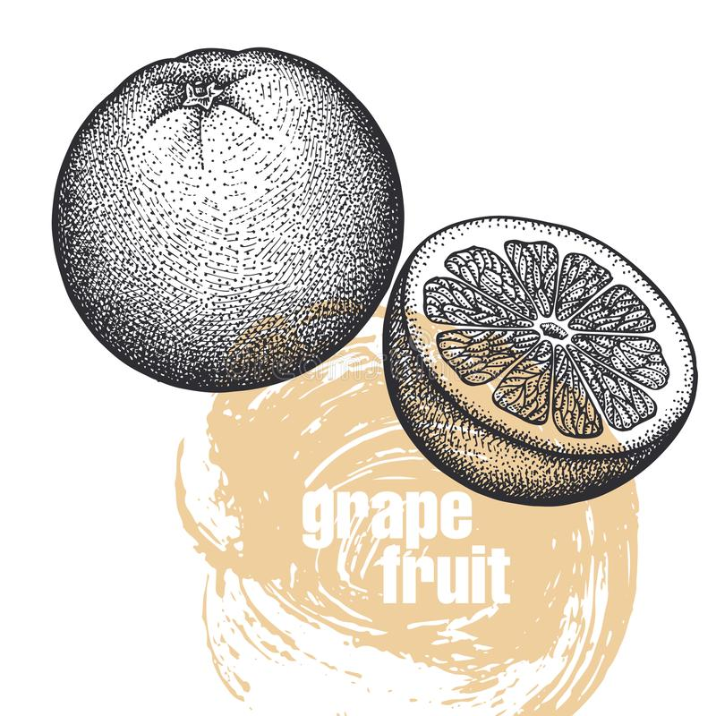 在白色bac隔绝的葡萄柚果子的现实例证 向量例证