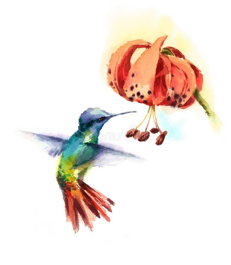 在白色backg隔绝的卷丹花手拉的夏天庭院例证外面的水彩鸟蜂鸟饮用的花蜜 向量例证