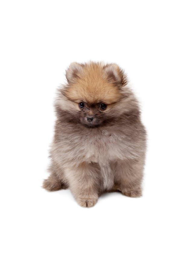 在白色backgr在2个月岁隔绝的Pomeranian小狗 图库摄影