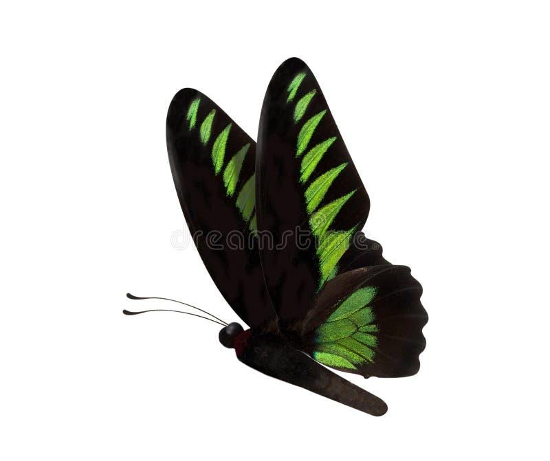 在白色backgro隔绝的绿色蝴蝶Trogonoptera brookiana 免版税库存图片