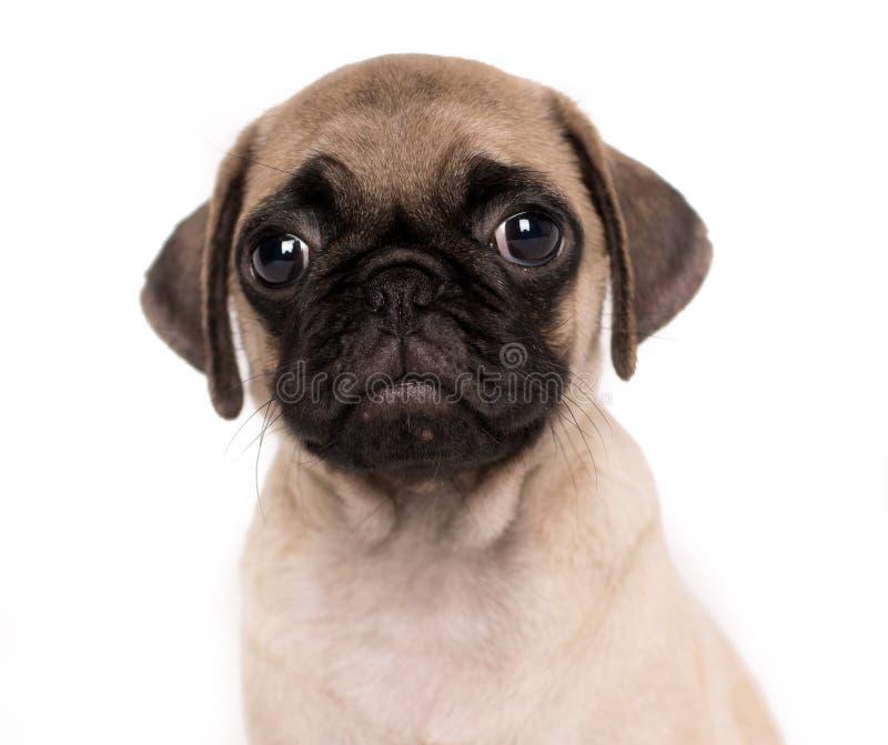 在白色bakcground前面的哀伤的哈巴狗小狗特写镜头画象 图库摄影