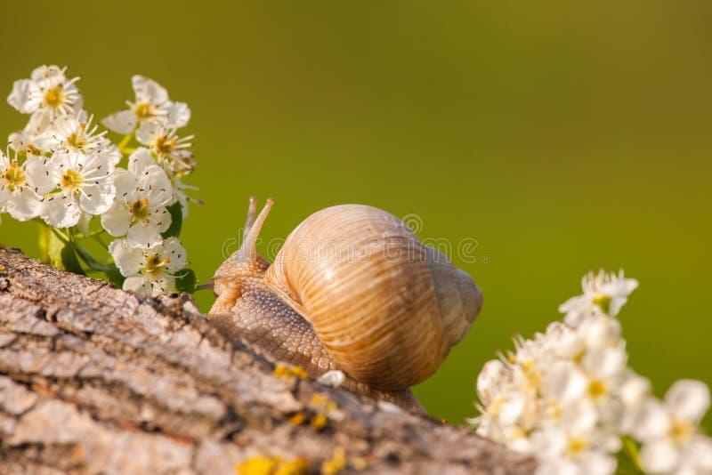 在白花之间的蜗牛在日落 免版税库存照片