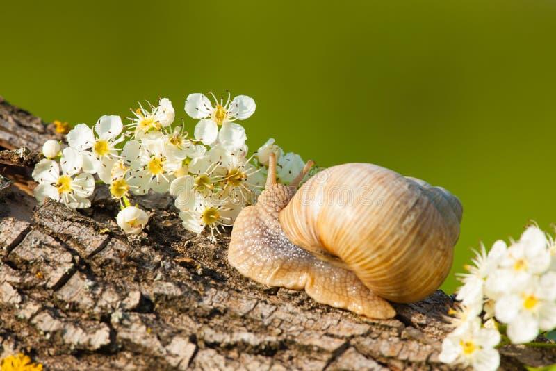 在白花之间的蜗牛在日落 图库摄影