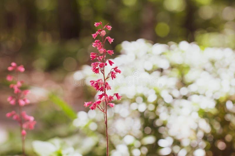 在白花灌木前面的桃红色花在森林 图库摄影