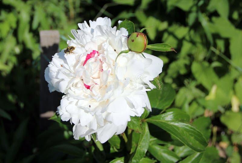 在白花的唯一蜂 免版税库存照片