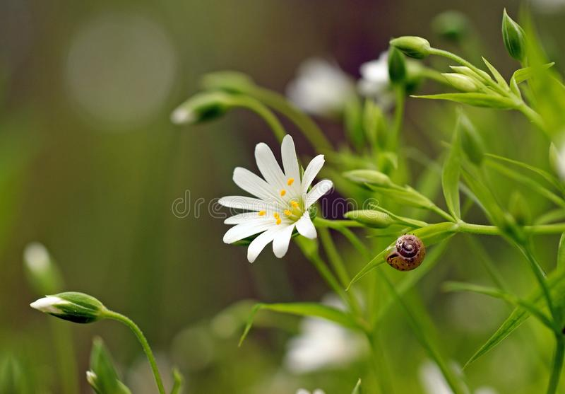 在白花的小的棕色蜗牛星形与黄色雄芯花蕊 免版税库存照片