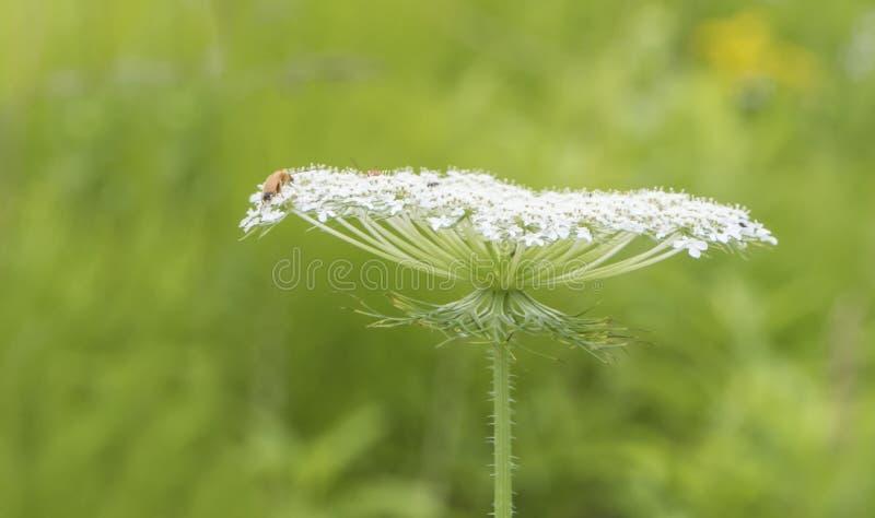 在白花的昆虫 免版税库存照片